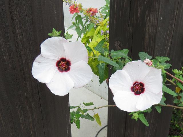 タカサゴフヨウの花