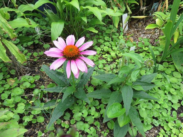 ピンクのエキナセアの花
