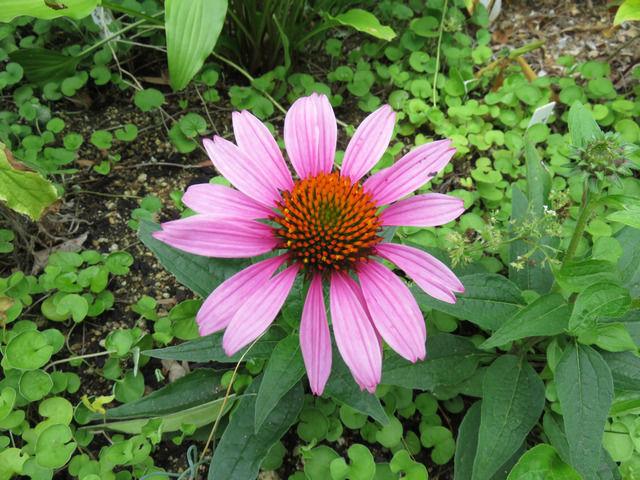 ピンクのエキナセアの花アップ