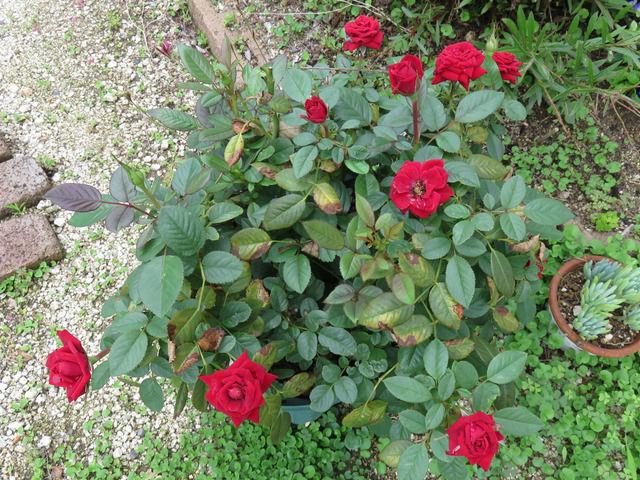 赤いミニバラの鉢