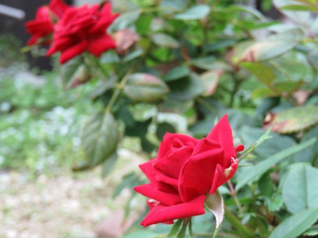 赤いミニバラの花のアップ