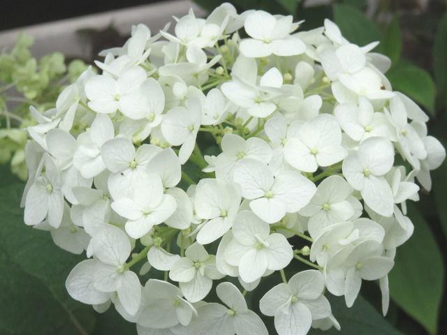 アナベルの花のアップ