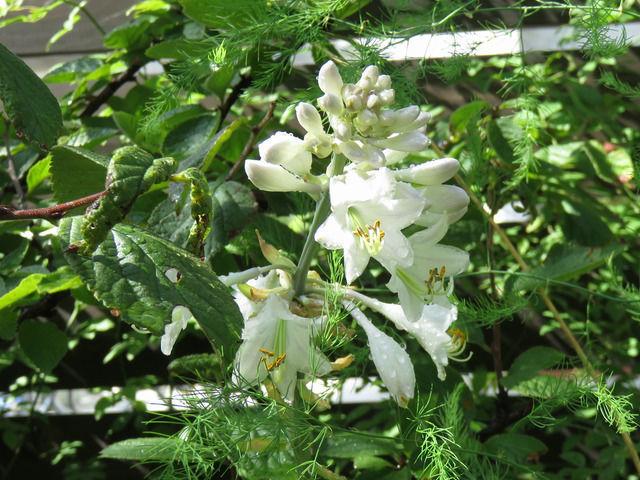 ギボウシ ホスタ・ハルシオンの花