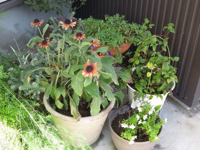 ルドベキア・アーバンサファリの鉢植え