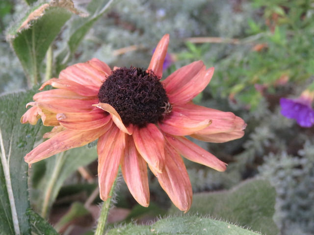 ルドベキア・アーバンサファリ キャニオンレッドの花のアップ