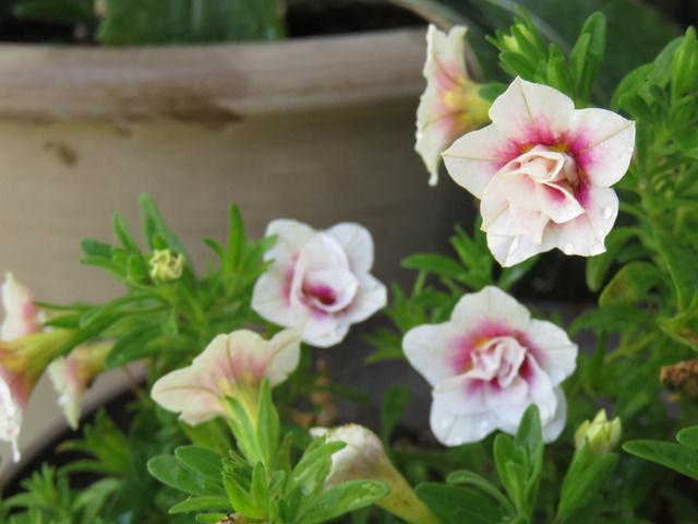八重咲きのカリブラコアの花