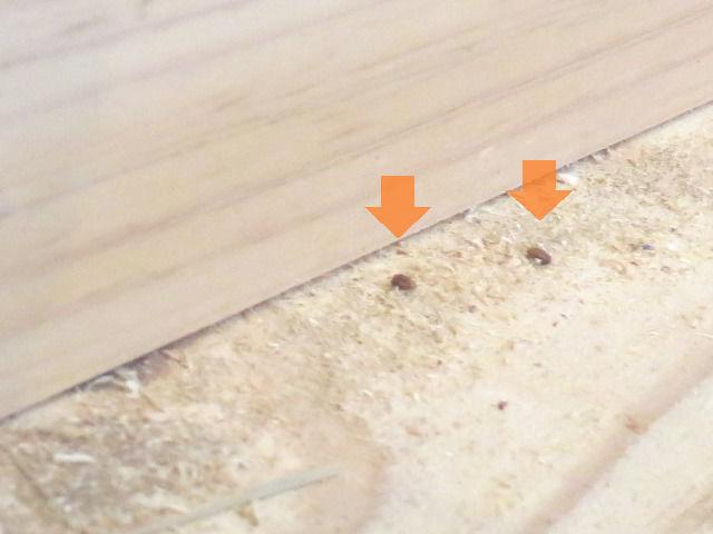 畳の裏に居たシバンムシ