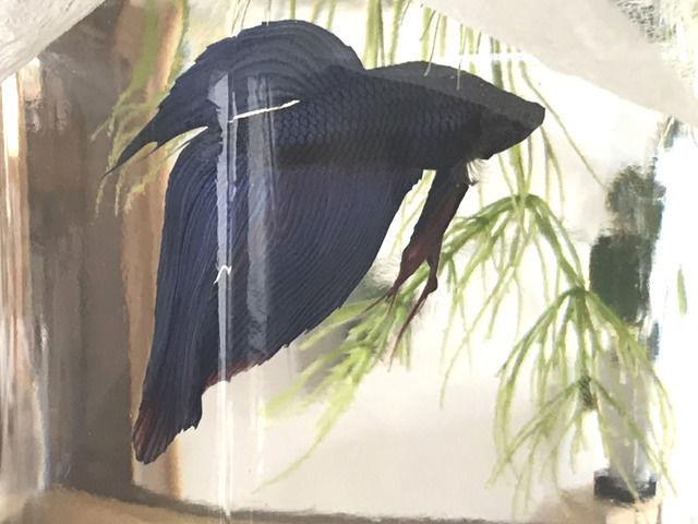 青いベタの画像