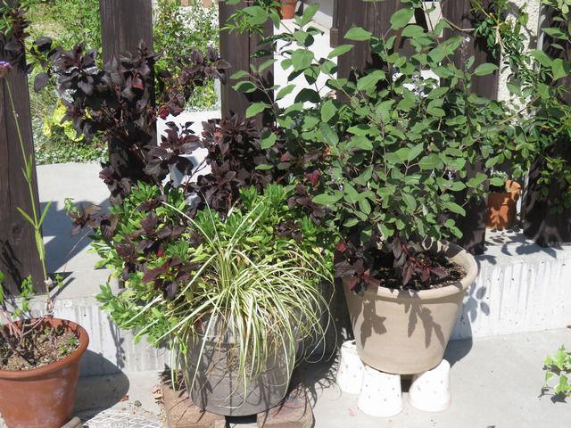 鉢植えのミツバハマゴウ