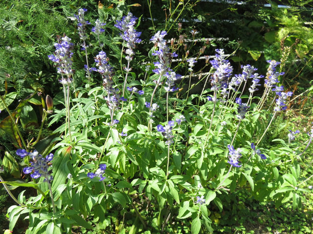 ブルーサルビアの花