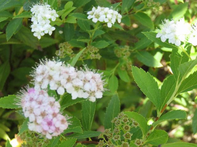 源平シモツケの花のアップ