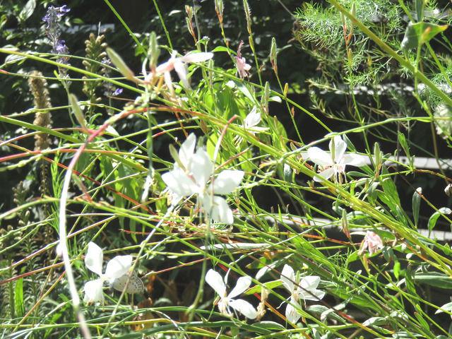 白いガウラの花の画像