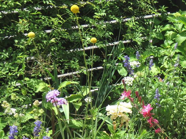 2019年5月に開花したクラスペディア グロボーサの花 ブルーサルビア ジギタリス