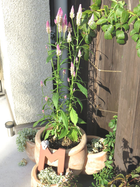 ストロベリーポットに植えたケイトウ