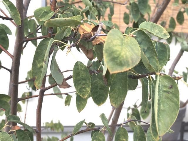 葉っぱが黄色く変色しているジューンベリー