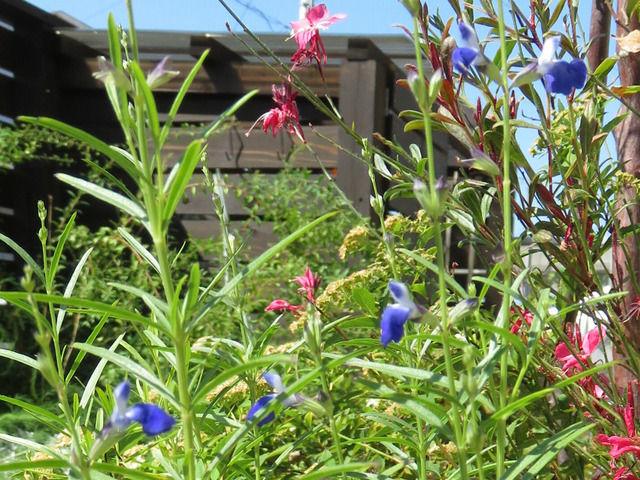 コバルトセージの花のアップ