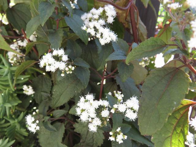 ユーパトリウム・チョコレートの白い花