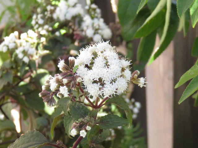 ユーパトリウム・チョコレートの白い花のアップ