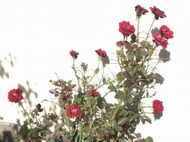 害虫の被害から葉っぱが復活したミニバラ