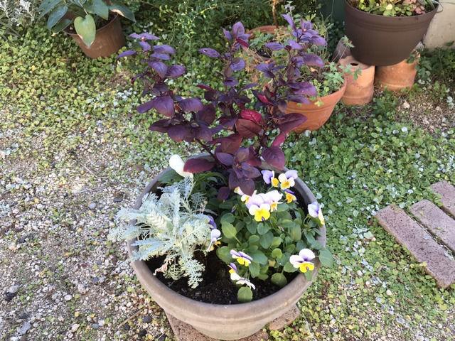 赤紫のアルテルナンテラ シルバーレース ビオラの寄せ植え