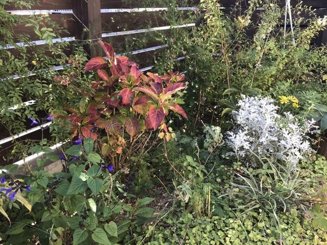 庭に植えているシロタエギク