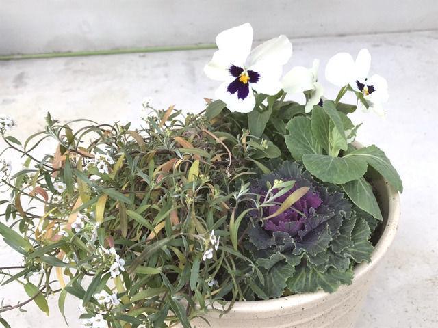 小さな寄せ植え 白いパンジーと紫の葉牡丹、スイートアリッサム