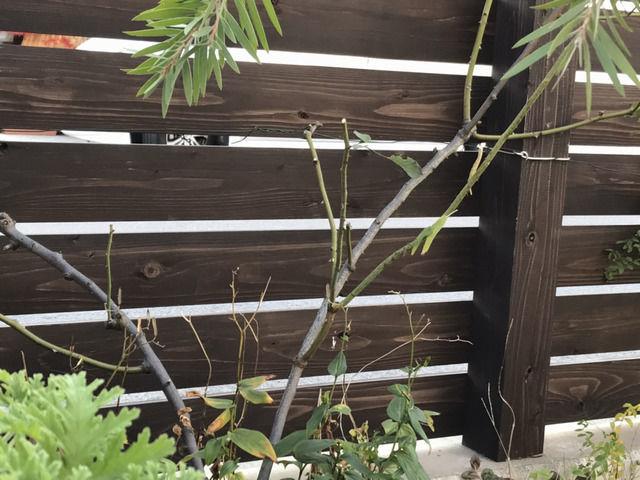 剪定したバラ・カクテルの枝