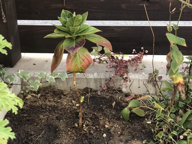 板塀の隅に植えたオタフクアジサイ