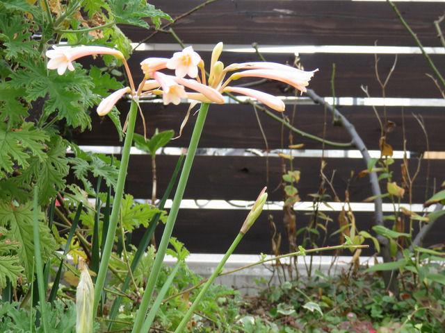 笛吹水仙・キルタンサスの花