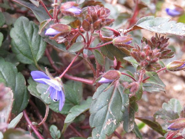 ベロニカ オックスフォードブルーの花のアップ