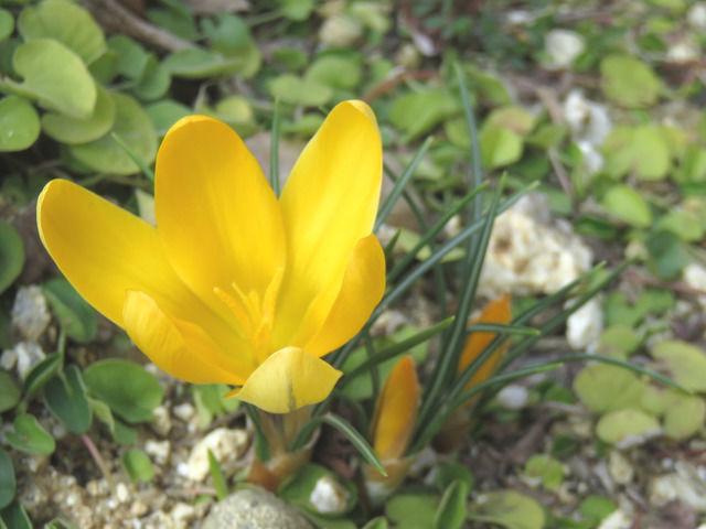 黄色いクロッカスの花