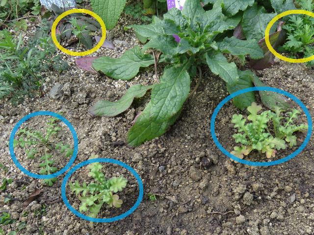 ネモフィラの苗を地植えした様子