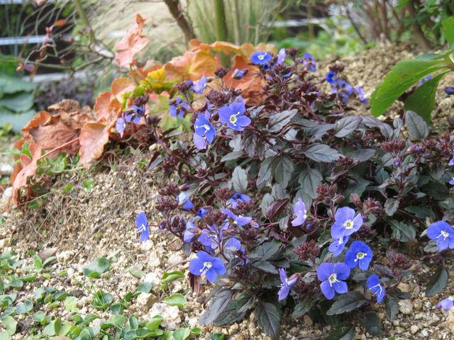 ベロニカ オックスフォードブルーの花と葉