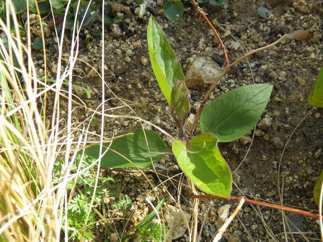 地植えのクレマチスロウグチが芽を出した様子
