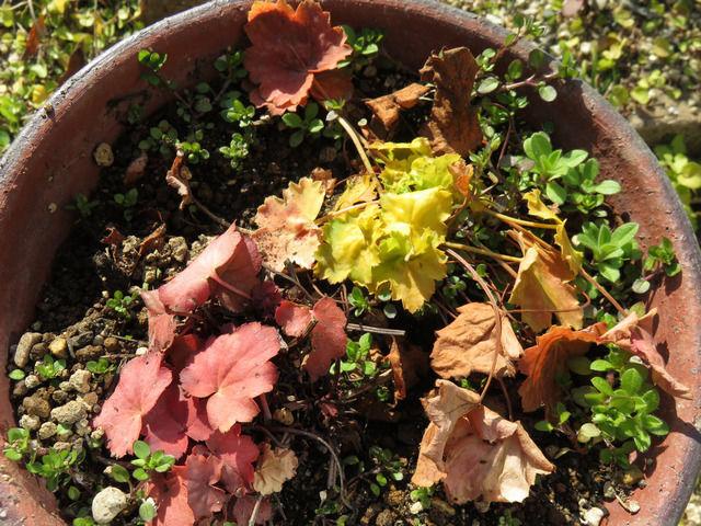 ヒューケラのカラフルな新しい葉