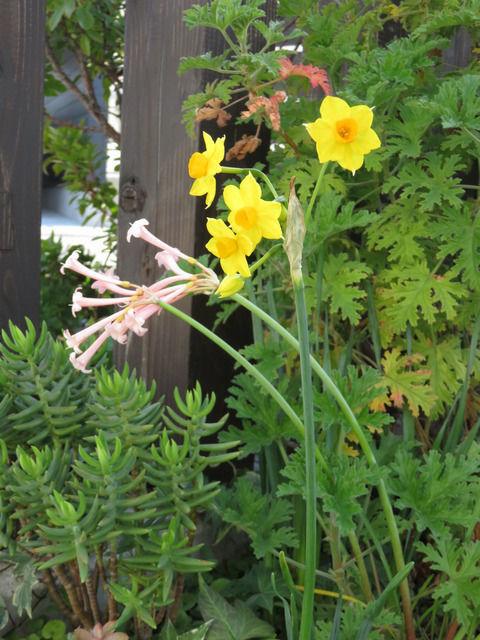 笛吹水仙と黄色い水仙
