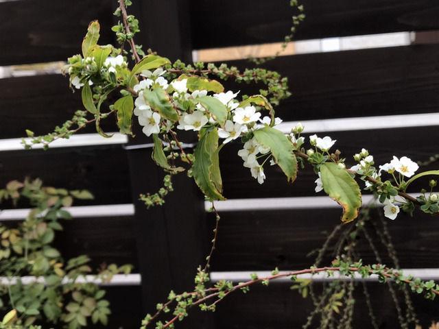 開花したユキヤナギ