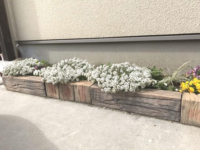駐車場花壇に植えたスーパーアリッサム