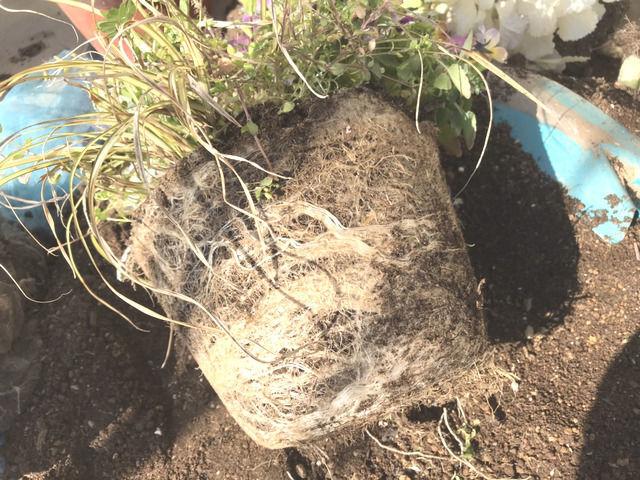 びっしりと根っこが張り巡らされた植木鉢の土