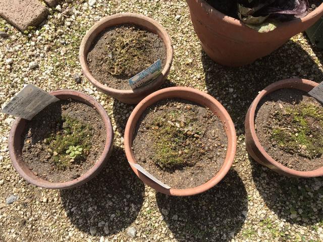 鉢植えにしたホスタ4つ