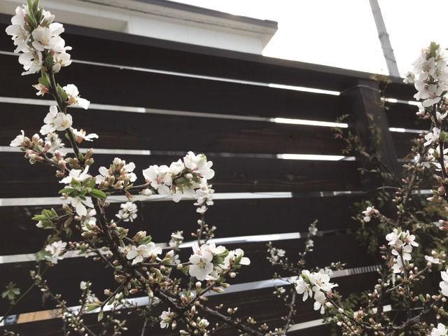 開花したユスラウメの花
