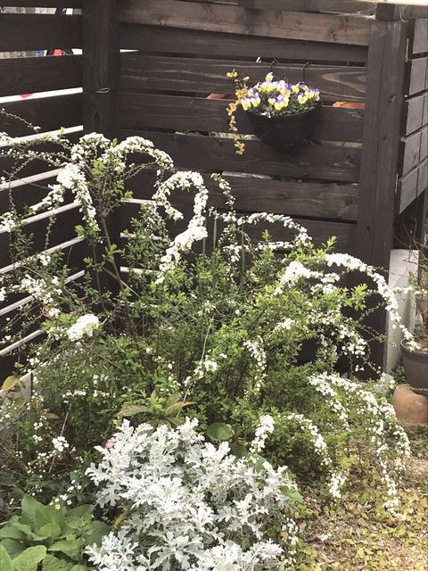 五分咲きのユキヤナギの花