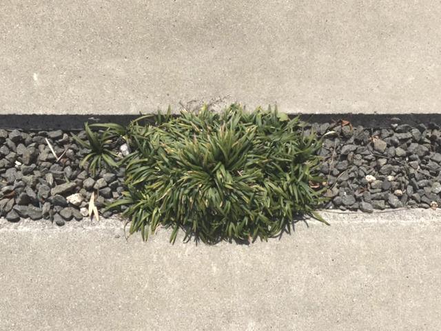 土間コンクリート目地いっぱいに育ったタマリュウ