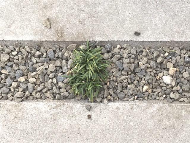 土間コンクリート目地いっぱいに育ったタマリュウを間引いたあとの様子