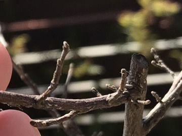 新芽が出ないエゴノキの枝