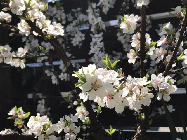 2020年春の満開のユスラウメの花