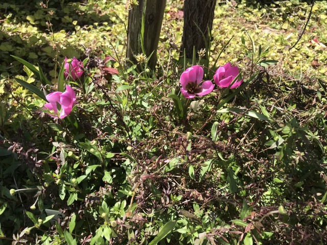 原種チューリップヘレナの花