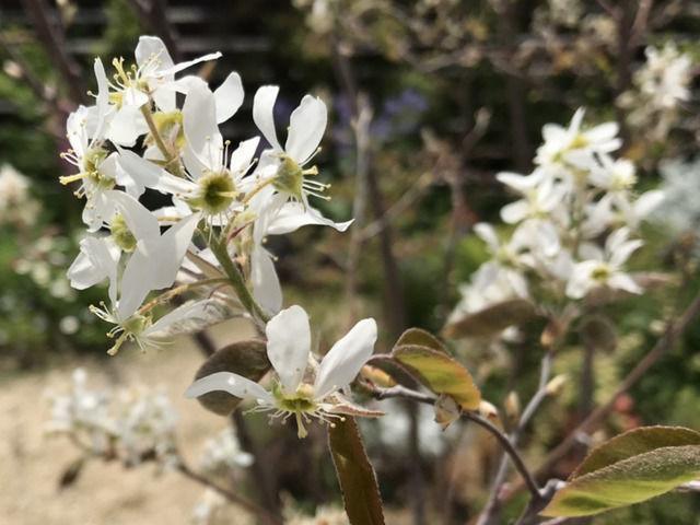 4月のジューンベリーの花
