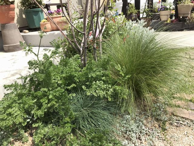 ジューンベリーの足元の植栽 スティパ エンジェルヘアー