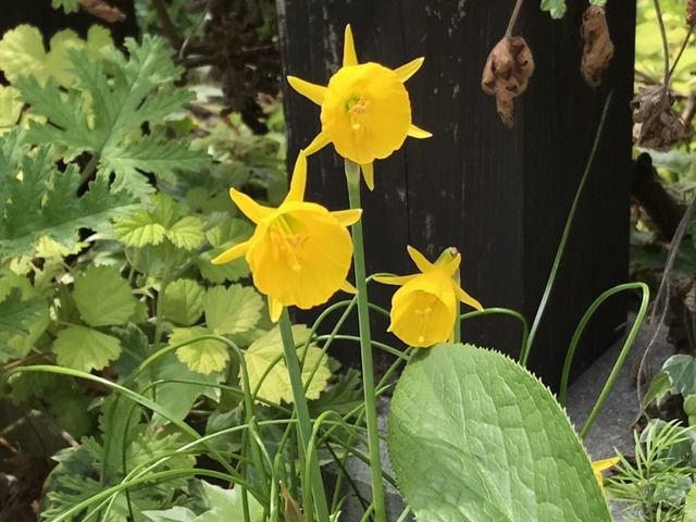 ミニ水仙バルボコジュームの花